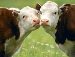 прикмети кризи – в англії починають красти худобу.