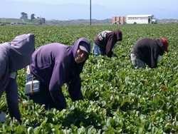 фінські фермери багатіють на праці українських рабів