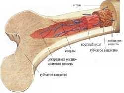 про кістковому мозку і лейкоцитах